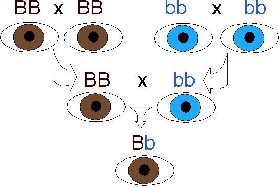 dominant and recessive traits in humans eye color example