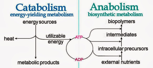 what is an example of anabolism