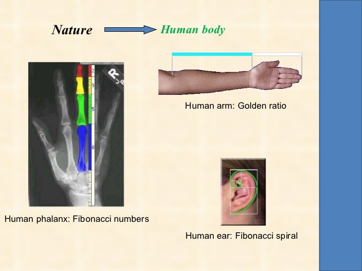 human forearm is an example of