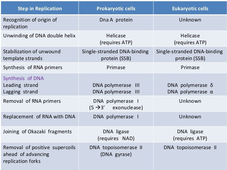 an example of a prokaryote is ___